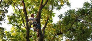 Tree trimming / tree pruning Waukesha & Milwaukee